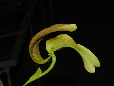 Bulbophyllum-grandiflorum