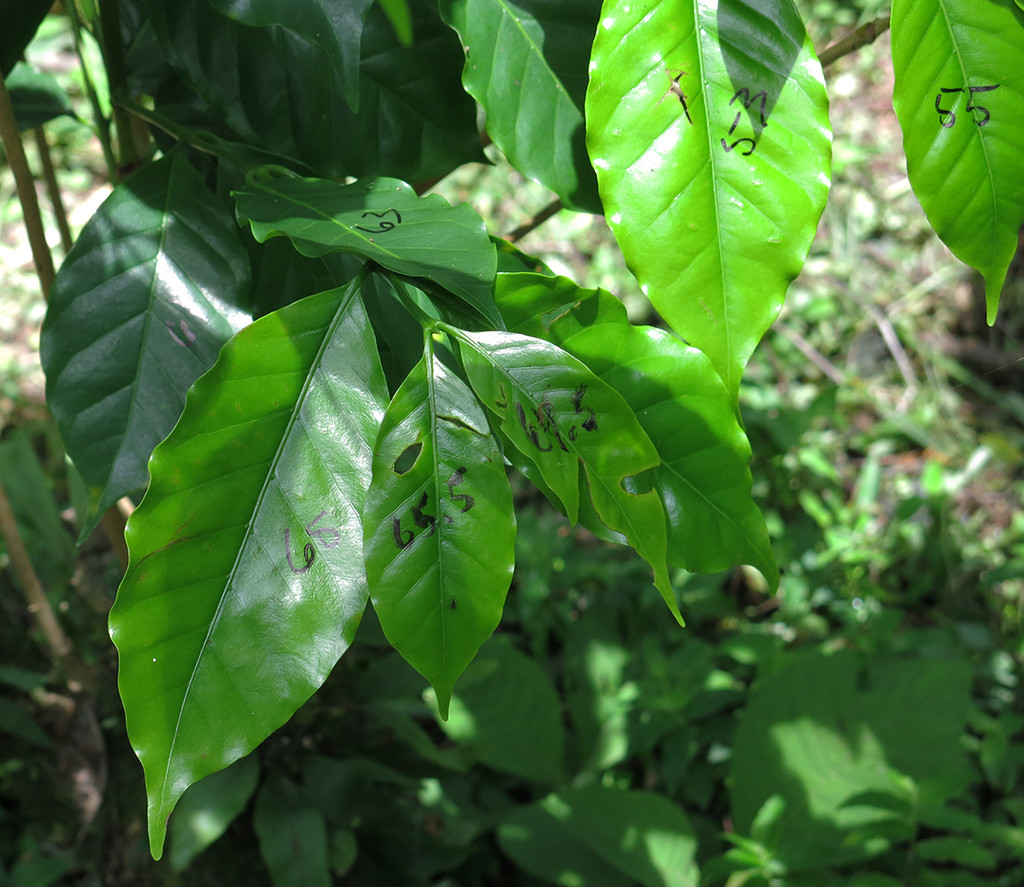Leaves are numbered on a coffee plant.