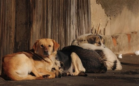 Thousands of stray dogs face euthanasia under the new law. Photo Credit: Daniel Mihailescu/AFP