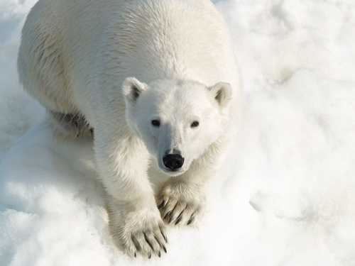 polar_bear_closeup