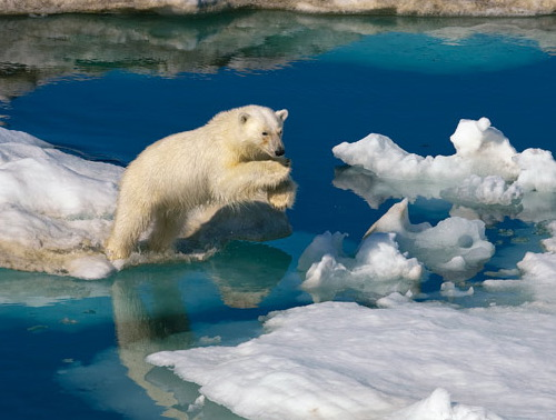 polar_bear_ice_paul_nicklen