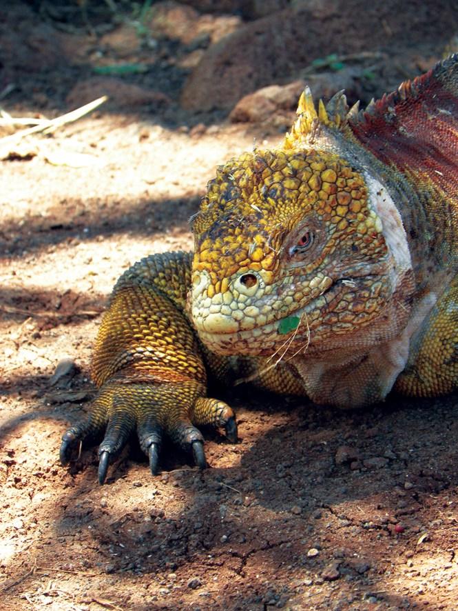 Land iguana in the Galapagos