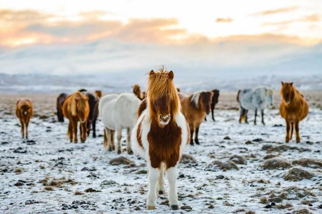 Icelandic ponies in field