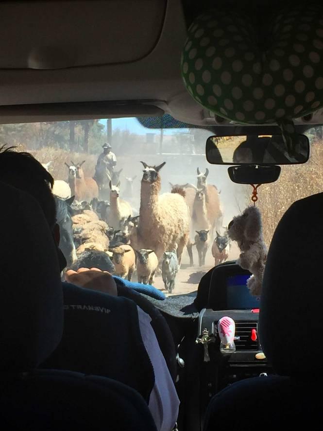 Llama traffic jam