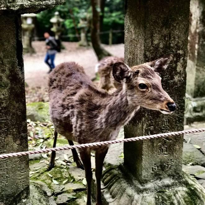 Deer at Nara Deer Park