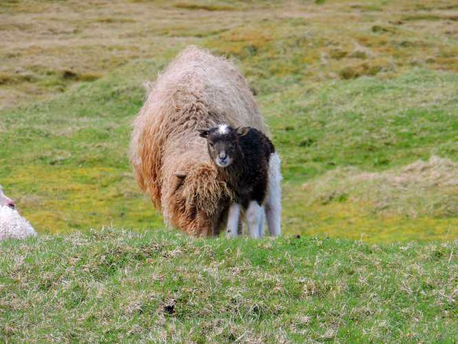 faroese momma sheep and lamb