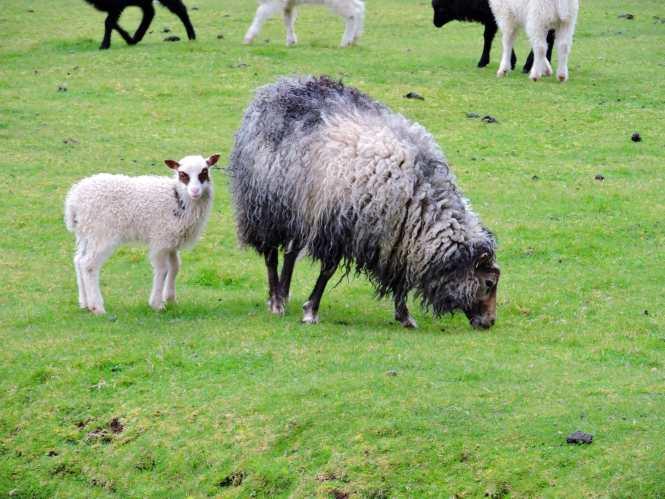 baby sheep in the faroe islands