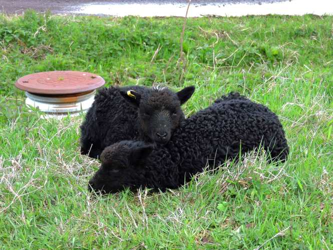 two lambs in the faroe islands
