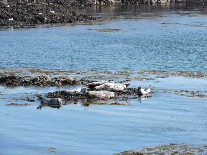portnahaven seals in islay scotland