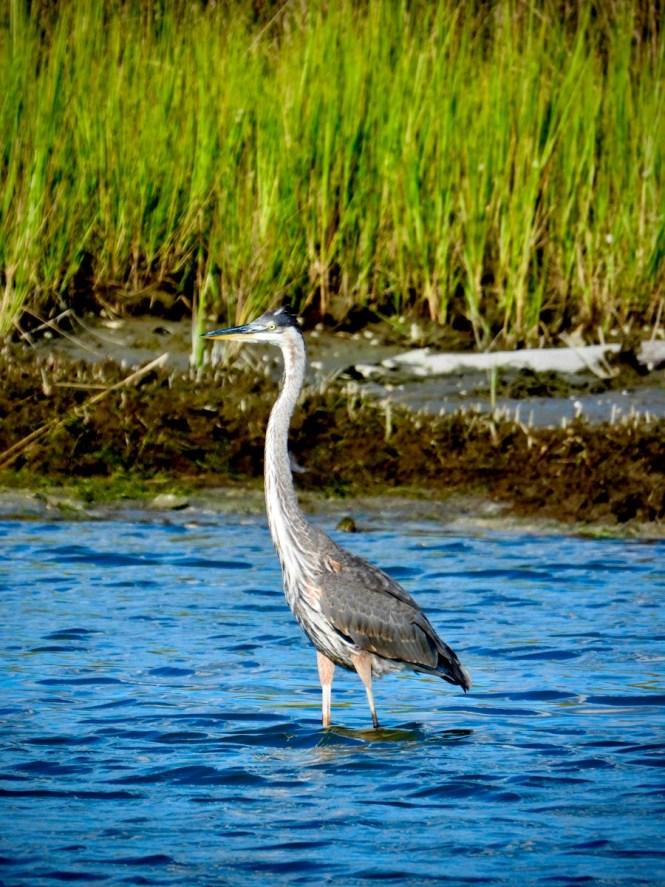 Smith Island bird life