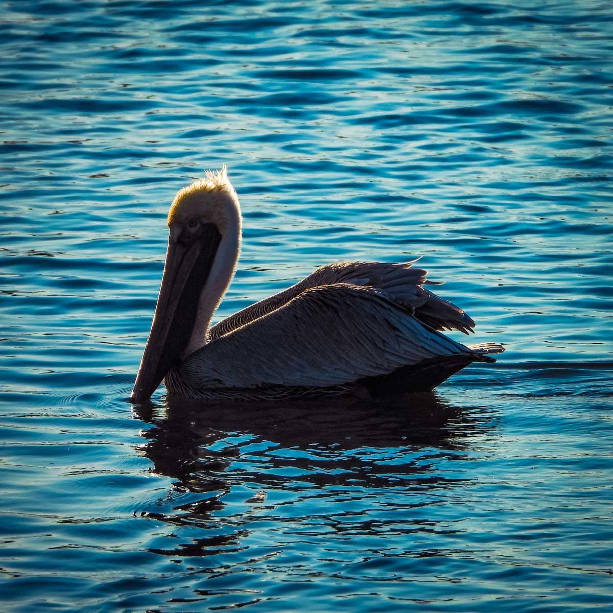 Pelican swimming on the water behind Bonaventure Cemetery