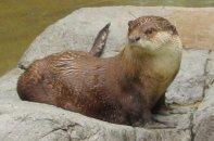 san-diego-otter