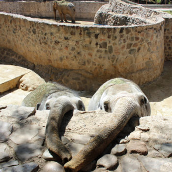 Mendoza elephants at zoo