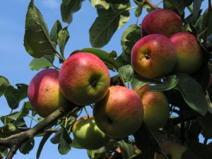 red and green apples on tree during daytime