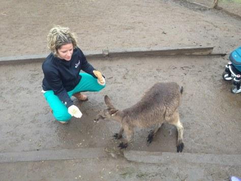 kangaroo OZ