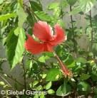 Hibiscus, Abidjan, Ivory Coast