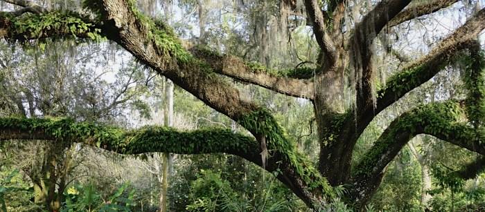 Leu Gardens Oak
