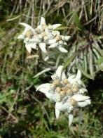 Wild Edelweiss