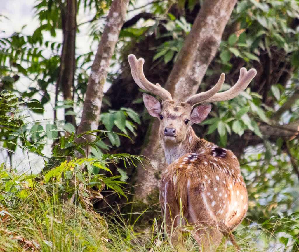 Wild Deer at Gokarna Forest Resort Kathmandu