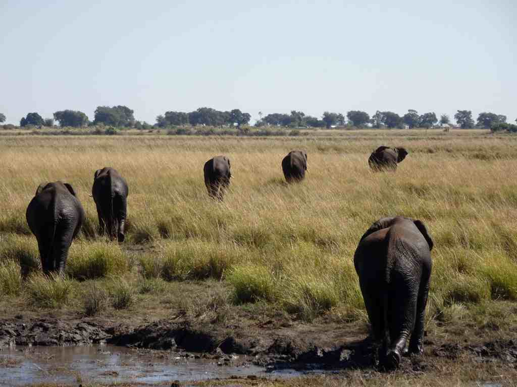 2017 travel highlights - Chobe elephants