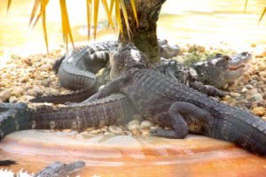 krokodillen everglades