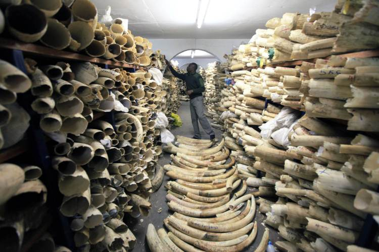 A Zimbabwe National Parks official inspects the stock during a tour of the country's ivory stockpile at the Zimbabwe National Parks headquarters in Harare, June 2, 2016. (AP Photo/Tsvangirayi Mukwazhi)