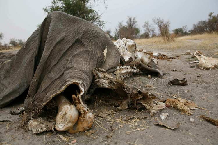 A photo made available Sept. 30, 2013 shows remains of a dead elephant that died after licking poisoned sand from a salt lick which poachers poisoned with cyanide in Zimbabwe's Hwange National Park. (EPA/Aaron Ufumeli)