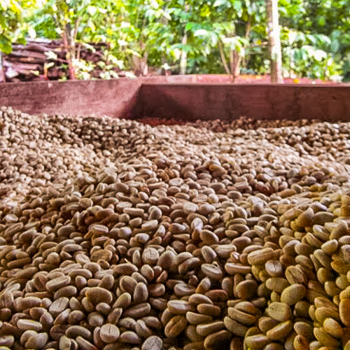 dried beans roasting coffee in laos farm
