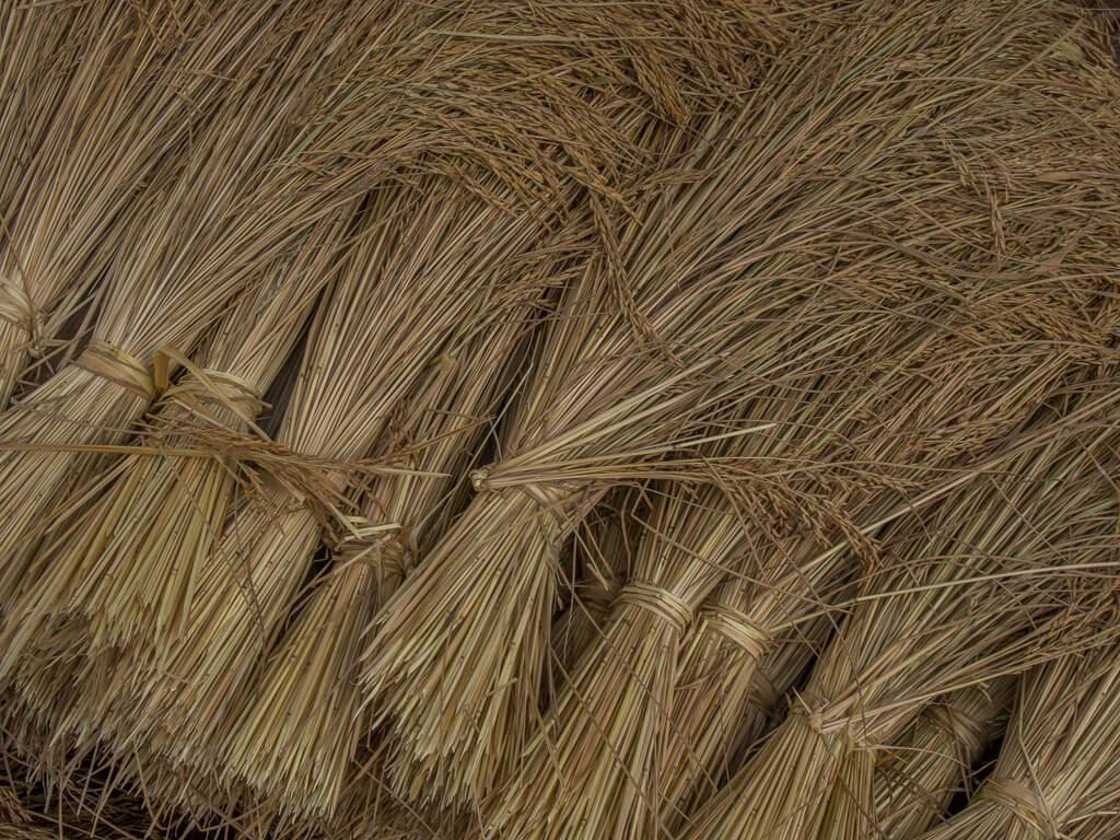 Rice Harvest -19