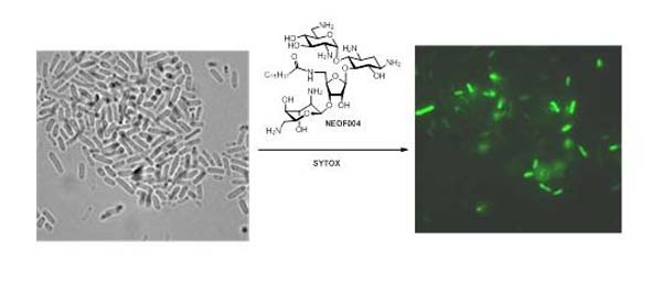 Investigation of antibacterial mode of action for traditional and amphiphilic aminoglycosides