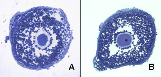 Concanavalin-A induces granulosa cell death and inhibits FSH-mediated follicular growth and ovarian maturation