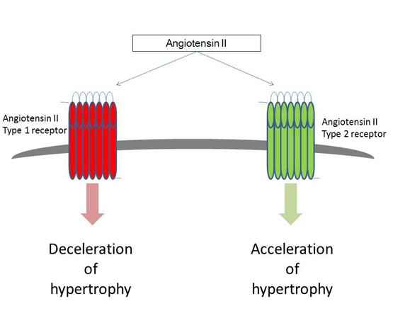Activating types 1 and 2 angiotensin II receptors modulate the hypertrophic differentiation of chondrocytes- global medical discovery