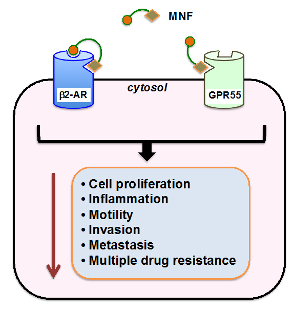 (R,R')-4'-methoxy-1-naphthylfenoterol targets GPR55-mediated ligand internalization and impairs cancer cell motility-- Global Medical Discovery