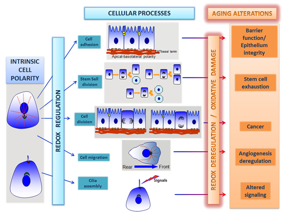 Cellular polarity in aging: role of redox regulation and nutrition-Global Medical Discovery