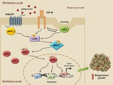 estrogen-receptor-Alpha-interferes-adiponectin-effects-breast-cancer-cell-global-medical-discovery
