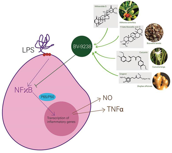 Inhibition of LPS-Induced TNF-{Alpha} and NO Production in Mouse Macrophage and Inflammatory Response in Rat Animal Models by a Novel Ayurvedic Formulation, BV-9238