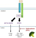 The natural chemopreventive agent sulforaphane inhibits STAT5 activity. - Global Medical Discovery
