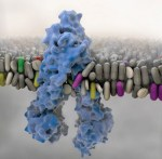 Edoxaban transport via P-glycoprotein is a key factor for the drug's disposition. - Global Medical Discovery