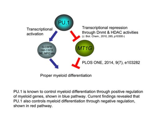 A PU.1 Suppressive Target Gene, Metallothionein 1G, Inhibits Retinoic Acid-Induced NB4 Cell Differentiation