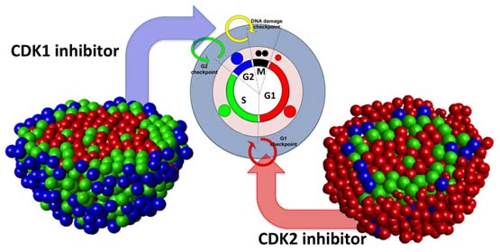 he formation of tight tumor clusters affects the efficacy of cell cycle inhibitors