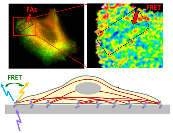 Direct observation of α-actinin tension and recruitment at focal adhesions during contact growth- Global Medical Discovery