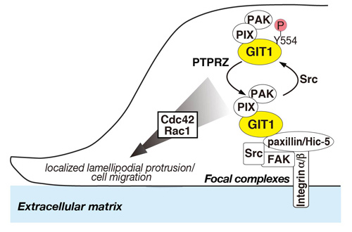 Specific Dephosphorylation at Tyr-554 of Git1 by Ptprz Promotes Its Association with Paxillin and Hic-5. Global Medical Discovery
