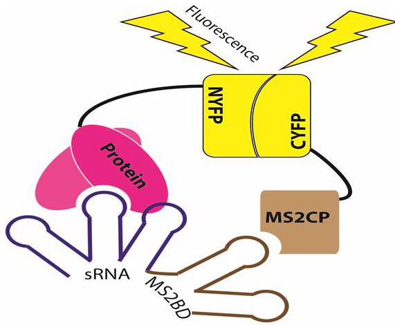 Adaptation of Tri-molecular fluorescence complementation allows assaying of regulatory Csr RNA-protein interactions in bacteria-. Global Medical Discovery