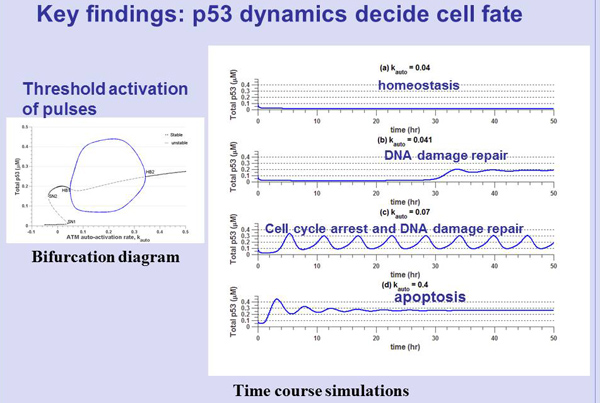 Mathematical modelling of p53 basal dynamics and DNA damage response- . Global Medical Discovery