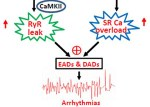 Overexpression of adenylyl cyclase type 5 (AC5) confers a proarrhythmic substrate - Global Medical Discovery