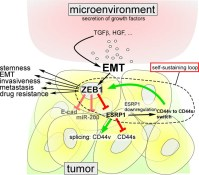 A self-enforcing CD44s ZEB1 feedback loop maintains EMT and stemness properties in cancer cells. Global Medical Discovery