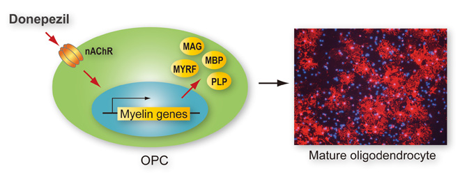 Nicotinic acetylcholine receptors mediate donepezil induced oligodendrocyte differentiation. Global Medical Discovery feature