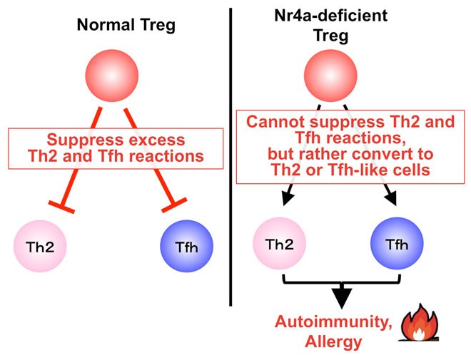 Suppression of Th2 and Tfh immune reactions by Nr4a receptors in mature T reg cells. Global Medical Discovery