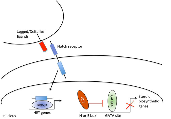 Notch signaling represses GATA4-induced expression of genes involved in steroid biosynthesis. Global Medical Discovery
