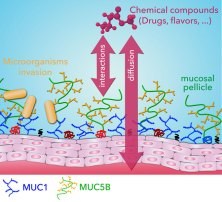 Membrane-associated MUC1 improves adhesion of salivary MUC5B on buccal cells- featured on Global Medical Discovery
